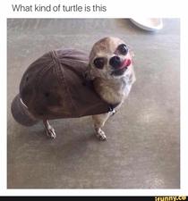 doggo turtle